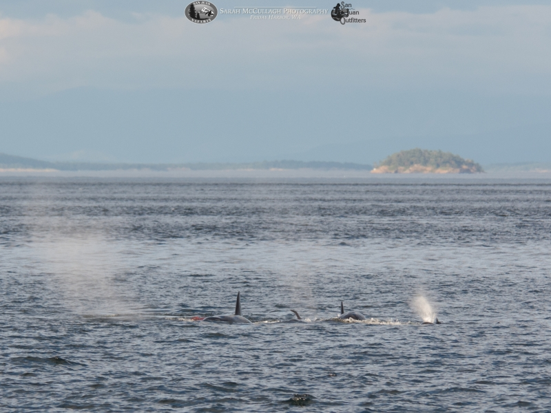 T037As share their dinner (blood in the water to the left of the whales)