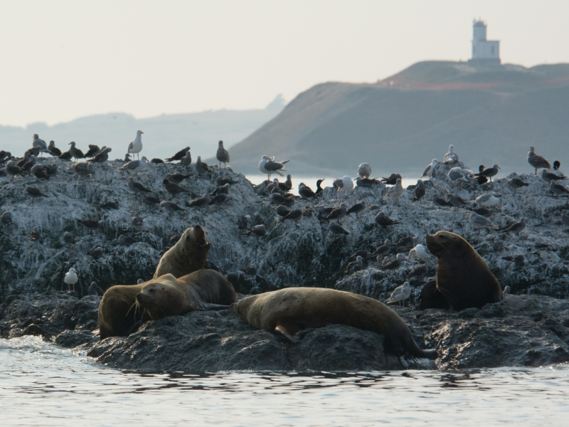 Steller's sea lions with Cattle Point Light