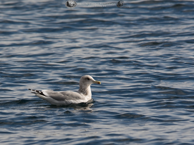Gull at the surface