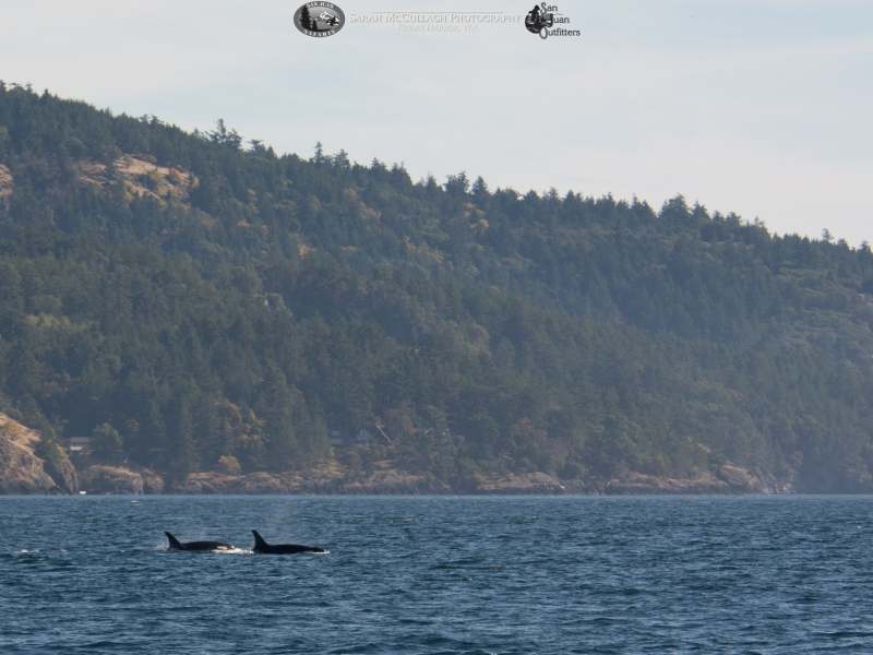 Southern Resident Killer Whales and San Juan Island