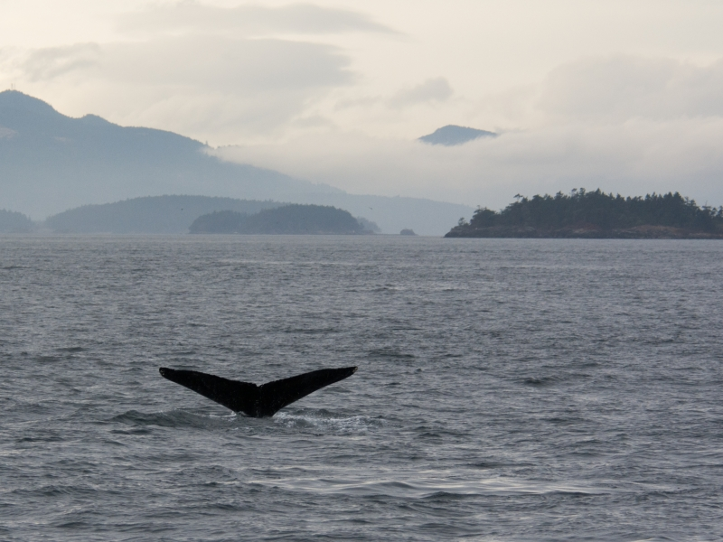 Humpback Whale Flukes in Late-Afternoon Light