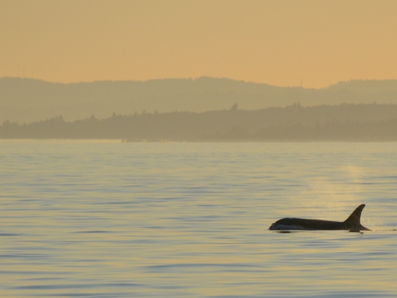 Southern Resident Killer Whale at Sunset