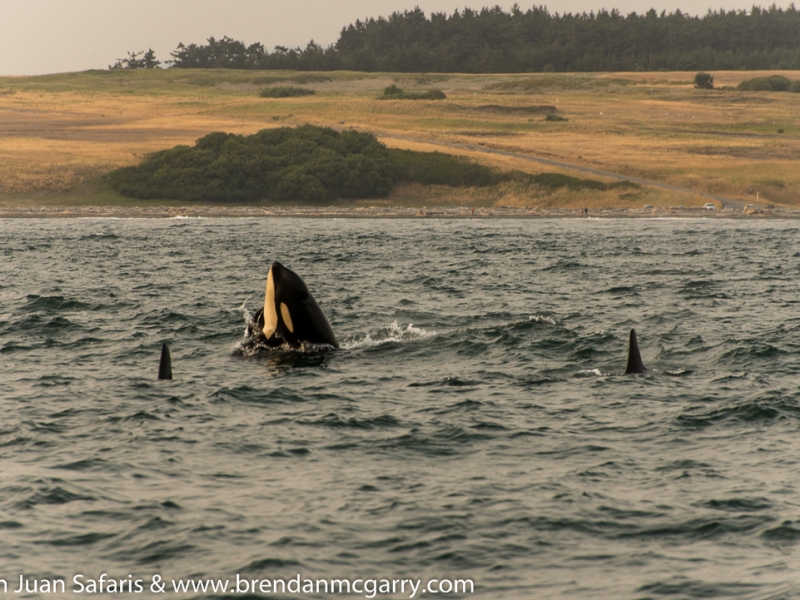 A cheeky spyhop from an orca, seen on our San Juan whale watching tour, just 90 miles north of Seattle!