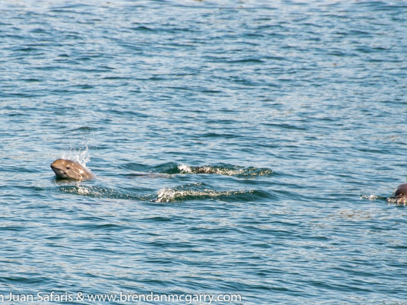 Harbor porpoises swimming in the Salish Sea, seen on our San Juan whale watching tour, just 90 miles north of Seattle!