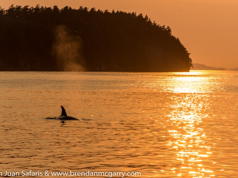 An orca surfaces gracefully on our sunset San Juan whale watching tour, just 90 miles north of Seattle!