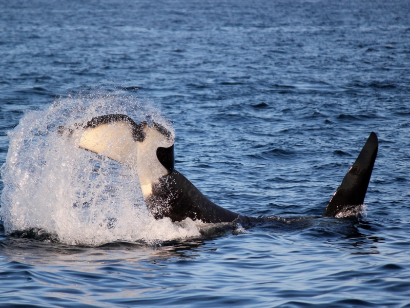 Tail-slapping orca seen on our San Juan whale watching tour, just 90 miles north of Seattle!