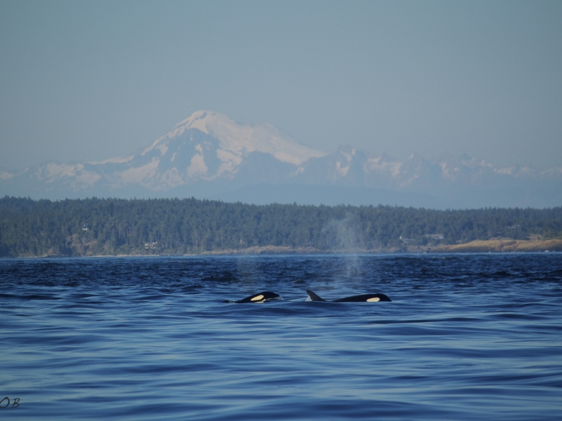 Orcas surfacing in front of Mount Baker on this San Juan whale watching tour, just 90 miles north of Seattle