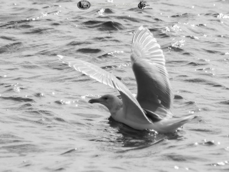 Black and white gull with that beautiful light