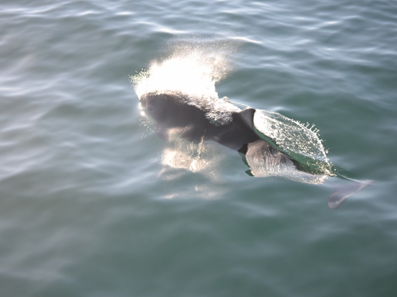 Porpoise at the surface