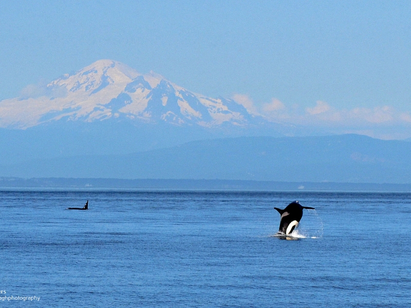 Orca breaching in front of Mount Baker on this San Juan whale watching tour, just 90 miles north of Seattle!