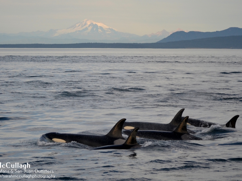 Group of orcas swimming gracefully on this San Juan whale watching tour, just 90 miles north of Seattle!