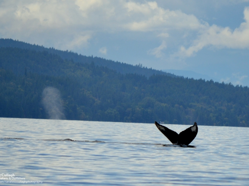 Two humpback whales gracefully dive into the depths of the Salish Sea, seen on our San Juan whale watching tour, just 90 miles north of Seattle!