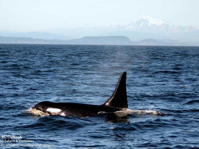 An orca swimming gracefully on this San Juan whale watching tour, just 90 miles north of Seattle!