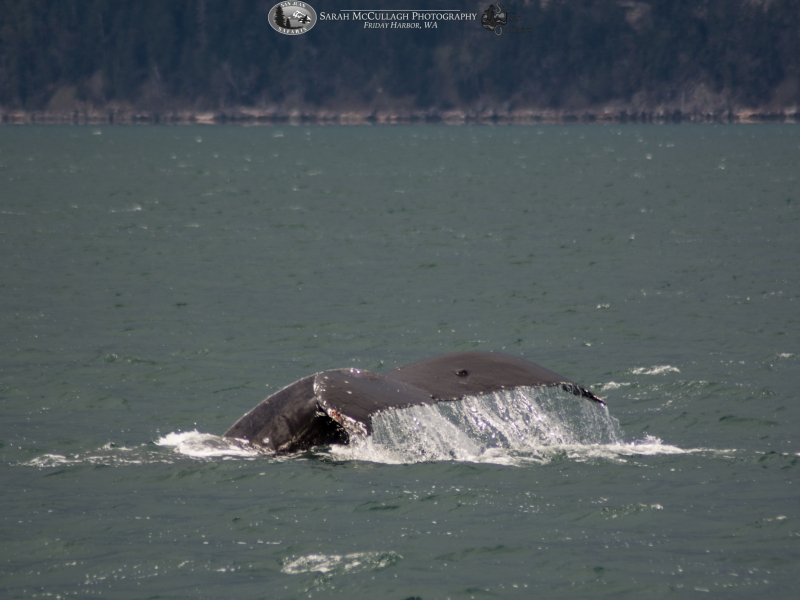 Fluking humpback whale