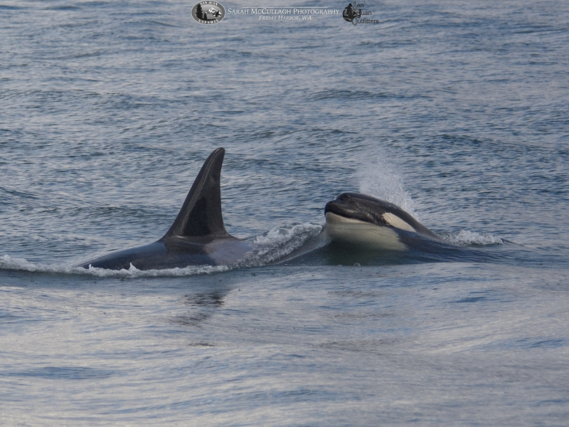 Mother orca T124A2 and her newest calf T124A2B
