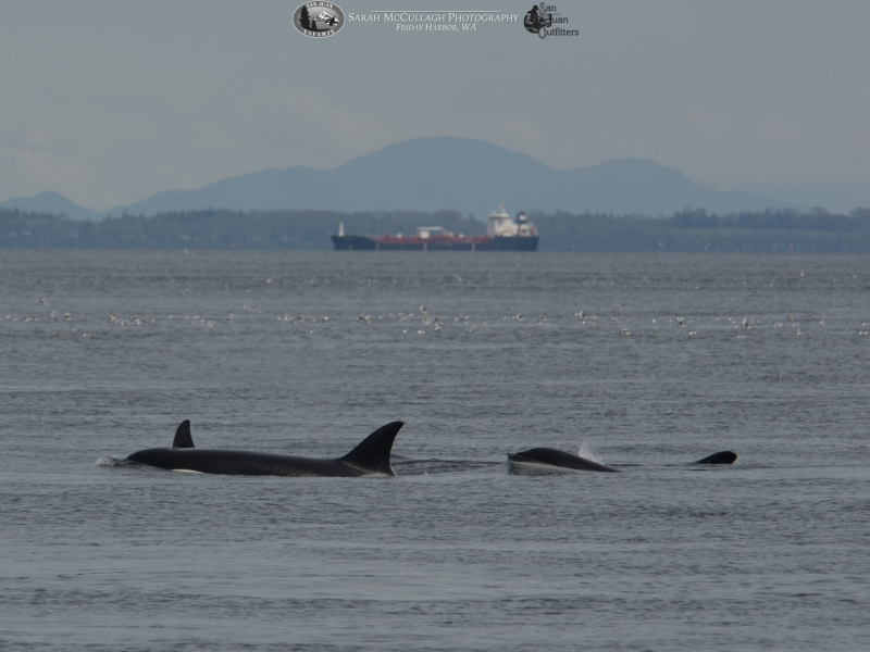 An orca just starts to break the surface following others in the group