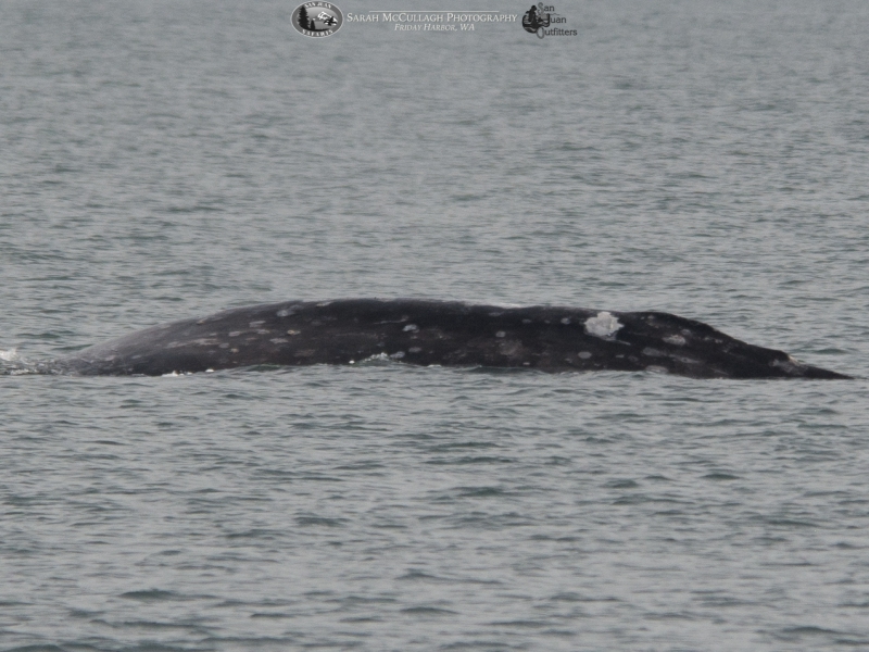 ID shot of the gray whale