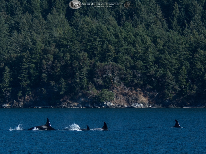 A very playful group of whales