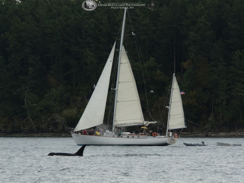 S/V Carlyn and killer whales