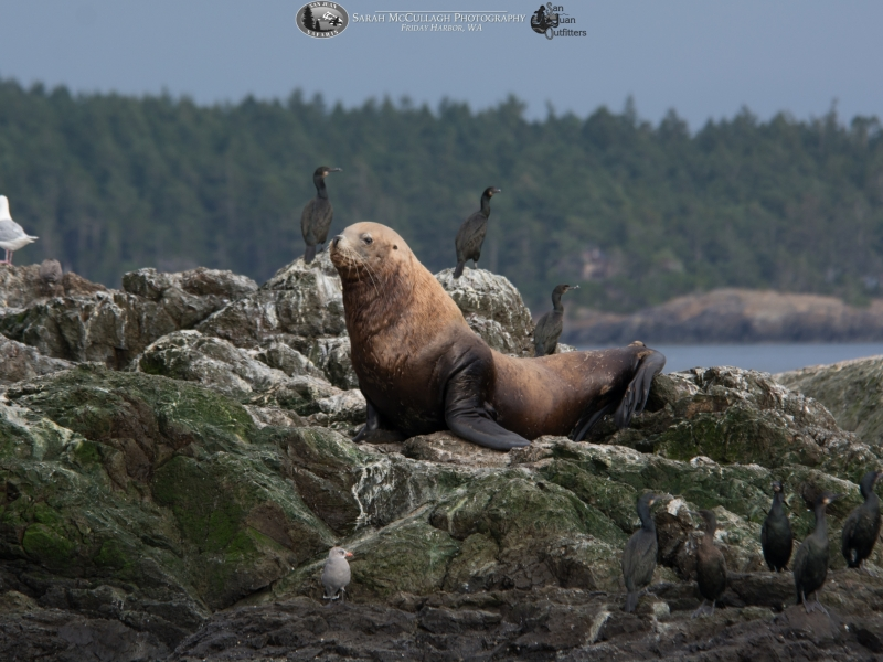 Sea lion sighted in the San Juan Islands