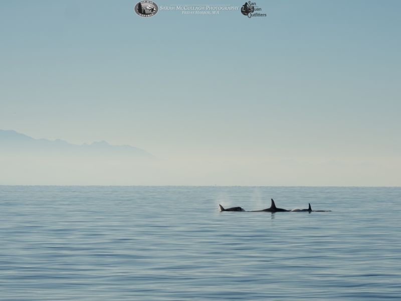 J Pod and the Olympic Peninsula