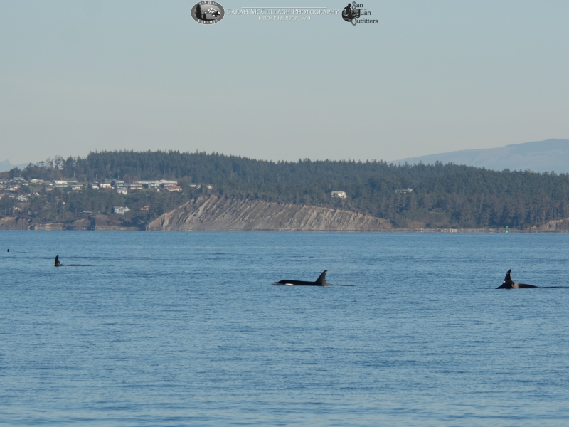 J Pod spread out in front of Whidbey Island