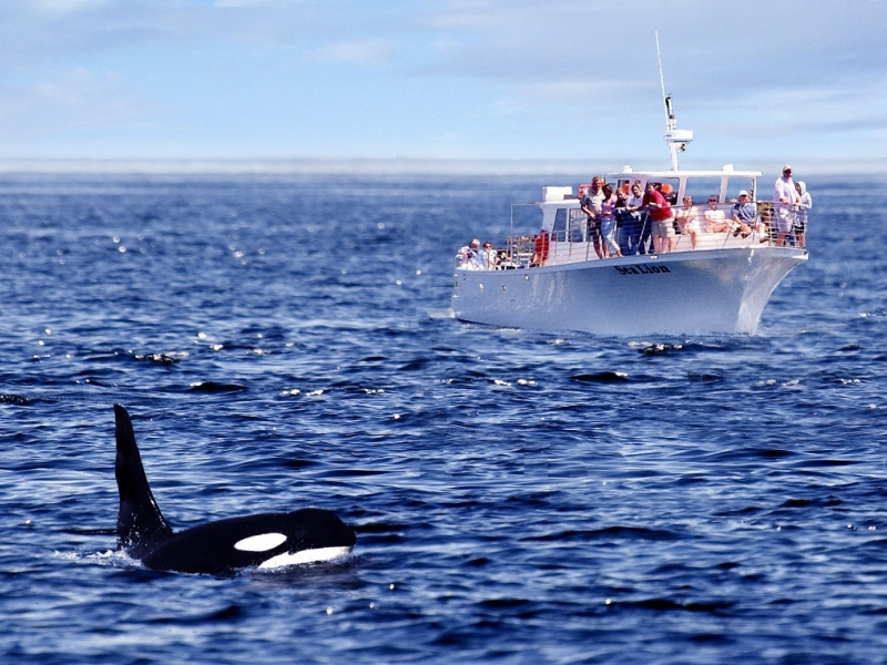 Seattle Orca Whale Watching from San Juan Island
