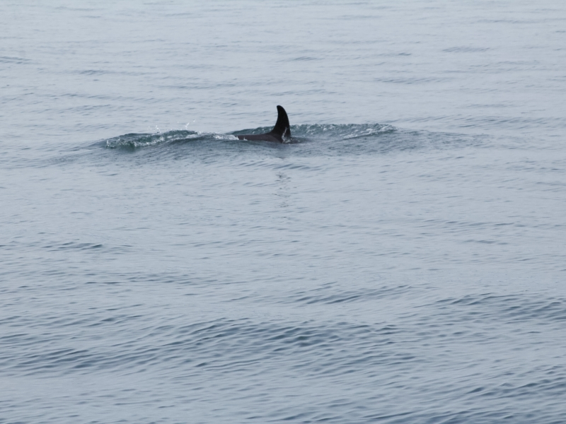 Southern Resident Killer Whale Calf