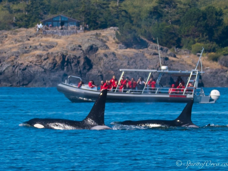 Southern Resident Orca Whale Watching neat Seattle