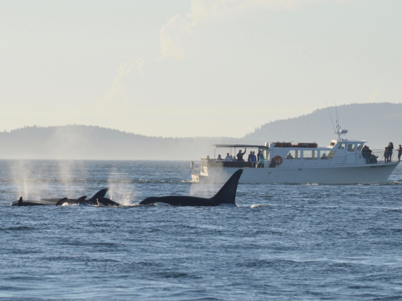 Seattle Orca Whale Watching near San Juan Island with San Juan Safaris