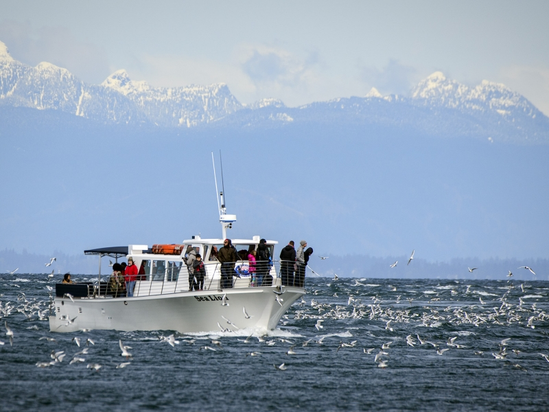 Northern Puget Sound Orca Whale Watching near Seattle
