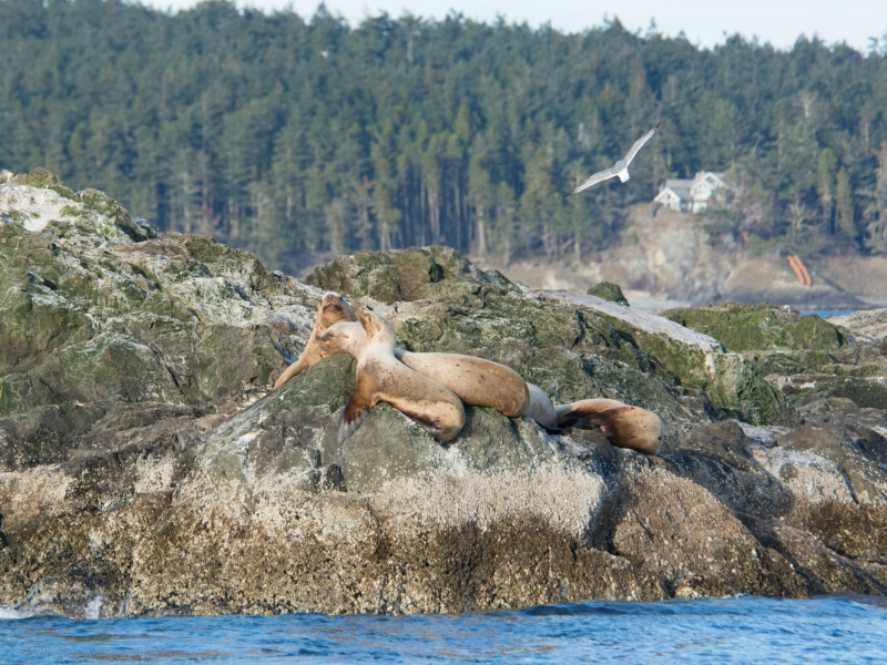 Steller's sea lions on Whale Rocks