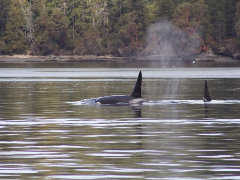 adult male Bigg's Orcas