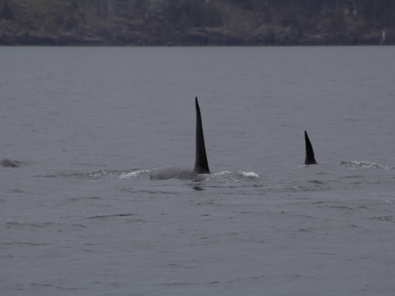 two Bigg's orca families hunt together