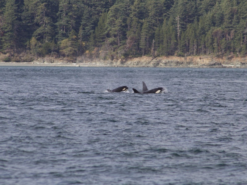 Bigg's Orcas Traveling