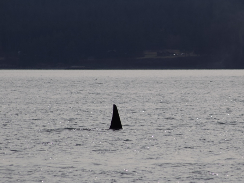 a male Bigg's (Transient) Orca