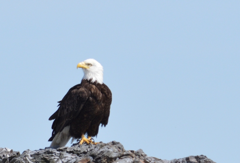 Bald eagle perched on rock near San Juan Island