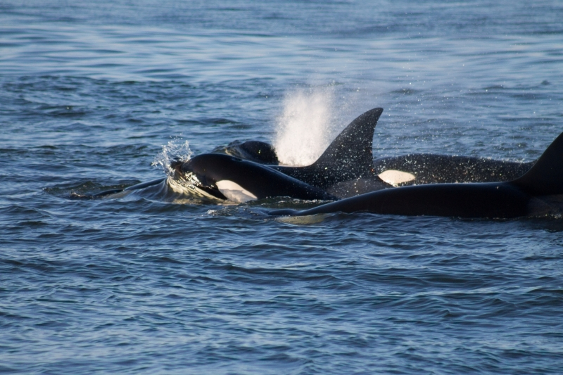 Orca Family traveling together in Puget Sound