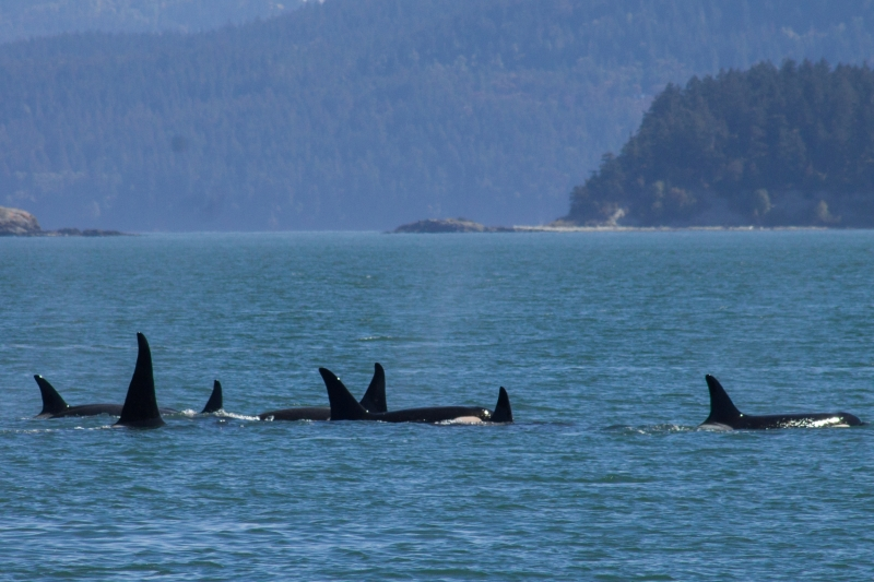 Orca Family traveling in Canda