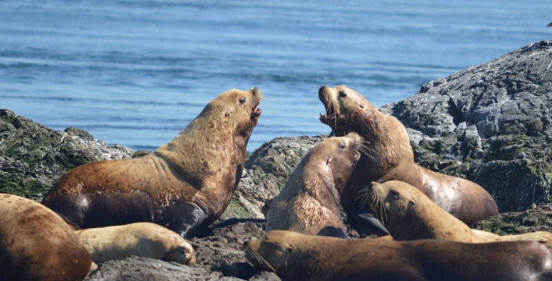 Adult Steller Sea Lions Sitting on Rocks