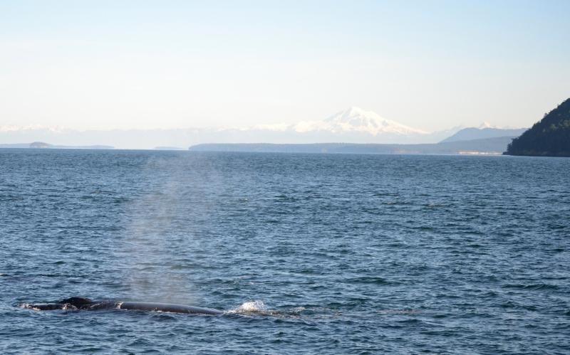 Humpback whale surfaces