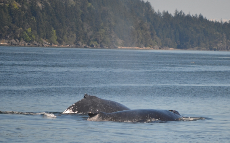 A pair of humpback whales in British Columbia