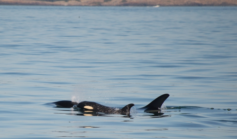 Mother killer whale and her baby