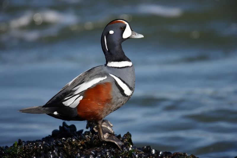 Harlequin duck perched on a rock