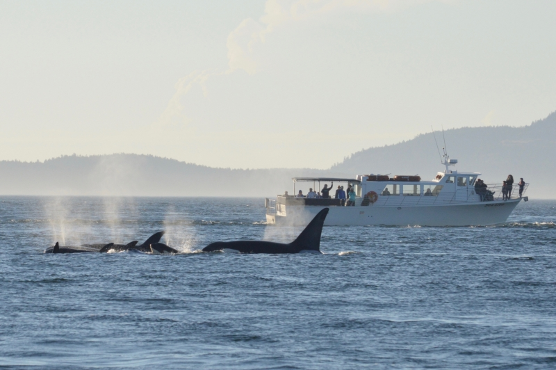 San Juan Island Whale Watching near Seattle with San Juan Safaris