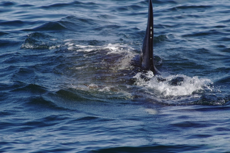 Adult Female Southern Resident Orca of J pod