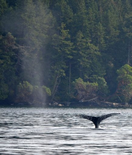 Humpback Whales in North Haro Strait